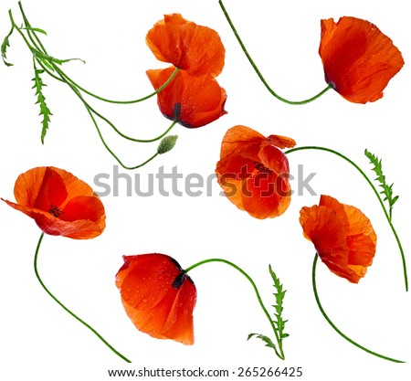 Poppy flowers - collection set isolated on white background - stock photo