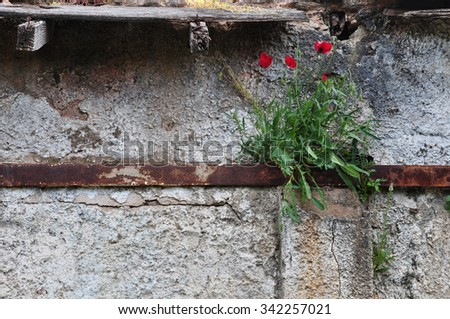Poppy flowers growing through rusty metal and cracked abandoned house wall.