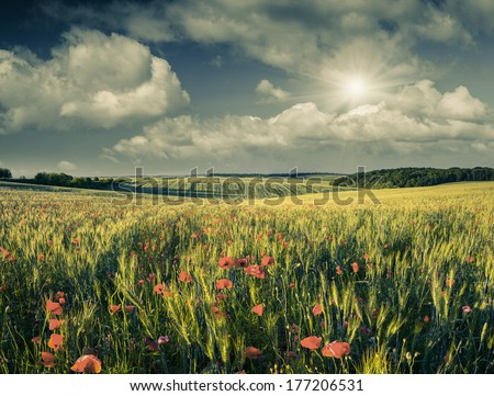 Poppy Flowers in a Wheat Field. Retro Style. - stock photo