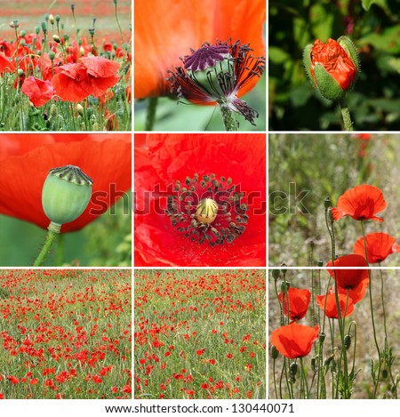 Poppy flowers in different growth stage - stock photo
