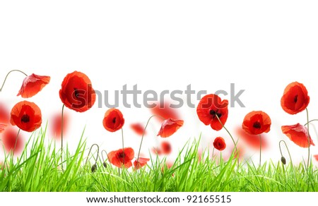 Poppy flowers in grass, isolated on white background - stock photo