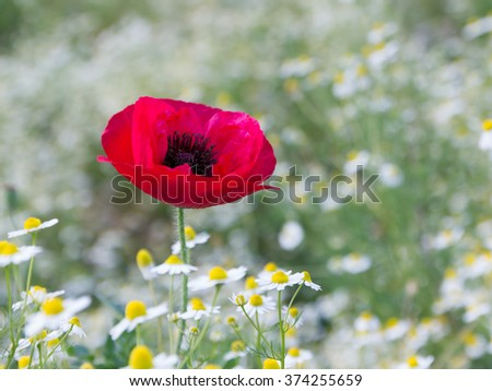 Poppy Flowers in Spring Field   - stock photo