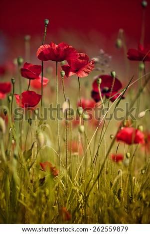 Poppy Flowers in Summer - stock photo