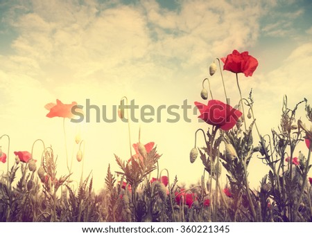 Poppy flowers in the field and sun light, selective focus. Stylized in retro colors