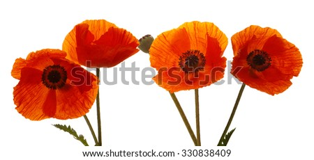 Poppy flowers isolated on white background.Four poppies