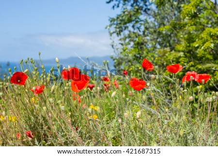 Poppy flowers near the sea - stock photo