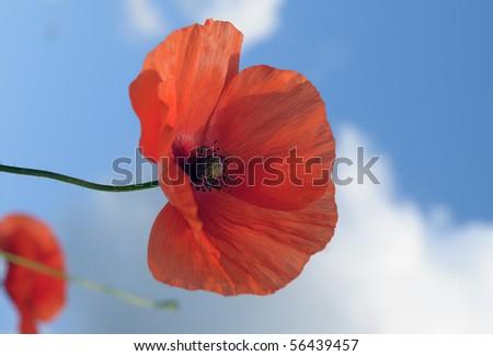 Poppy flowers on a wind against a blue sky - stock photo