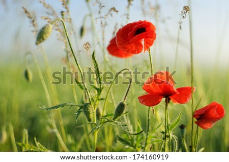 Poppy flowers on field and sunny morning - stock photo