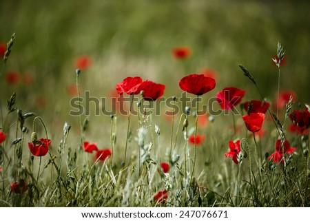Poppy Flowers on Spring Meadow in warm Sunlight - stock photo