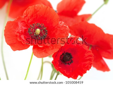 Poppy flowers on white - stock photo
