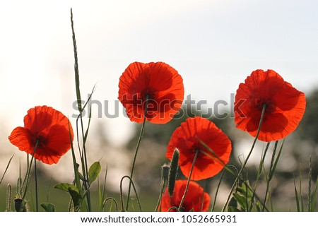 Poppy flowers papaver rhoeas poppies light stock photo edit now poppy flowers or papaver rhoeas poppies with the light behind in italy remembering 1918 the mightylinksfo