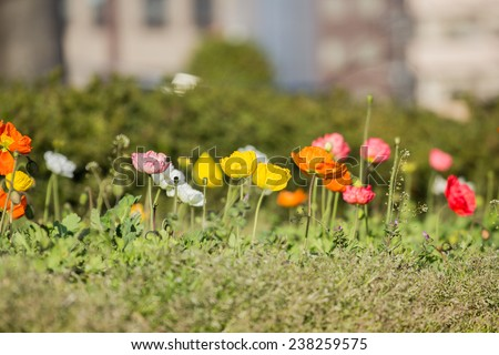 Poppy Flowers Papaver rhoeas in Spring - stock photo