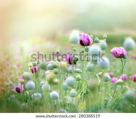 Poppy flowers - poppy field  - stock photo