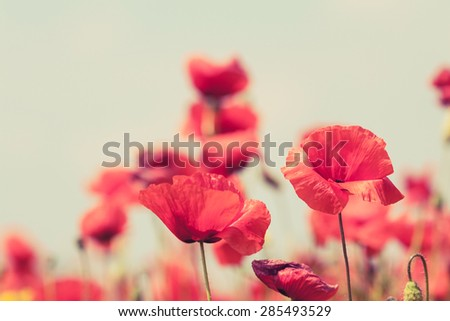 Poppy flowers retro vintage summer background, shallow depth of field with red flowers over green background - stock photo