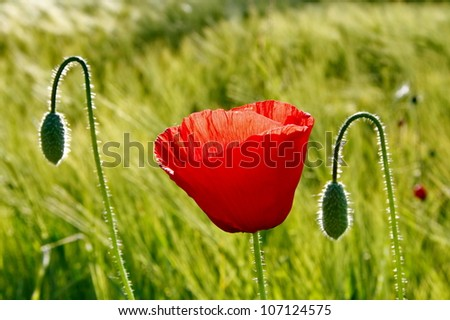 Poppy in the barley field - stock photo