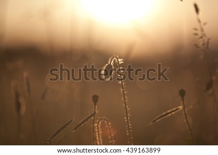 Poppy in the field at dawn - stock photo