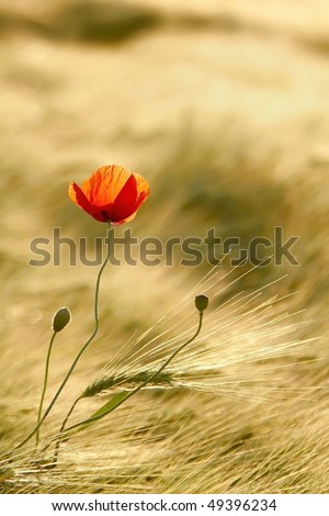 Poppy in the field of wheat backlit by the light of the rising sun. - stock photo