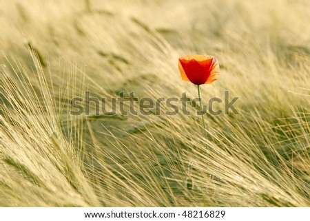 Poppy in the field of wheat backlit by the light of the setting sun. - stock photo