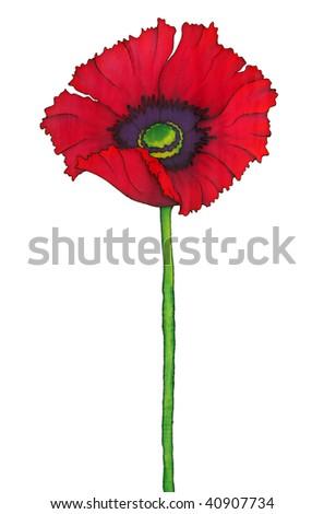 Poppy isolated on white background - stock photo