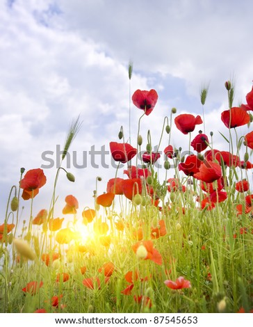 Poppy meadow. Composition of nature. - stock photo