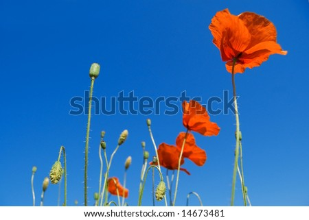 poppy on blue sky background