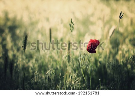 Poppy on filed - stock photo
