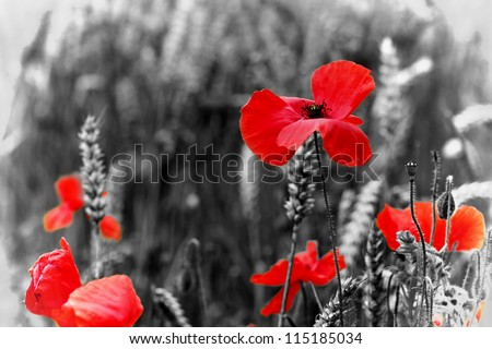 Poppy red poppy flower symbol war stock photo royalty free poppy red poppy flower symbol war stock photo royalty free 115185034 shutterstock mightylinksfo Image collections
