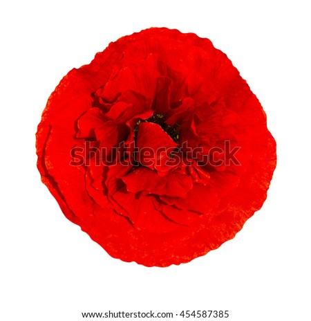 poppy. red poppy isolated on white background.red poppy. beautiful single flower head. red ranunculus isolated on white background. - stock photo