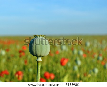 Poppy seed capsule in field