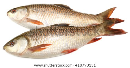 Popular Rohu or Rohit fish of Indian subcontinent over white background - stock photo