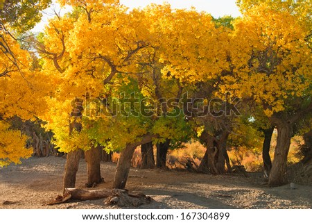 populous forest in autumn, Inner-Mongolia, China - stock photo