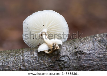 Porcelain fungus (Oudemansiella mucida) on a beech tree in the Netherlands. - stock photo