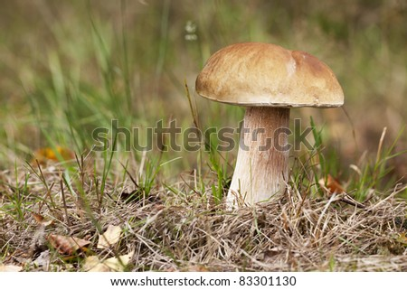 Porcini mushroom on woodland floor - stock photo