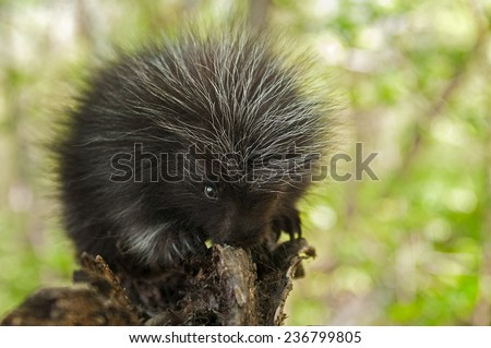 Porcupette (Erethizon dorsatum) Chews on Branch - captive animal - stock photo