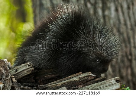 Porcupette (Erethizon dorsatum) Looks out from Atop Branch - captive animal - stock photo