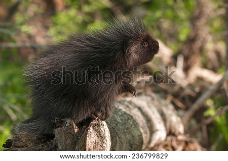 Porcupette (Erethizon dorsatum) Looks Up - captive animal - stock photo