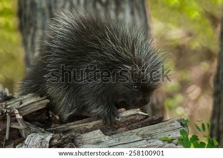 Porcupette (Erethizon dorsatum) on Branch - Baby Porcupine - stock photo