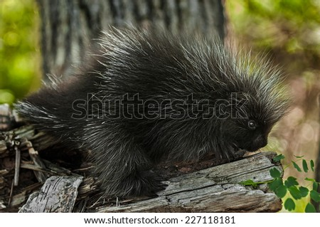 Porcupette (Erethizon dorsatum) on Branch Looking Right - captive animal - stock photo