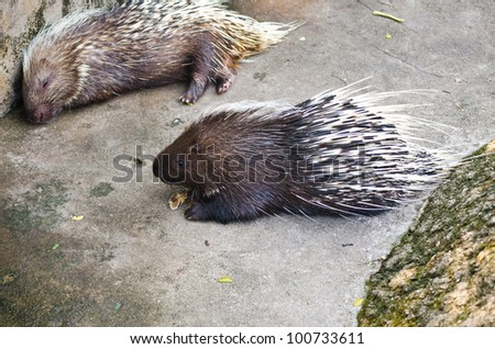 Porcupine. - stock photo