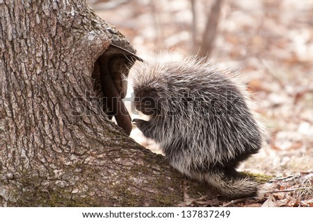 Porcupine at the Base of a Tree - stock photo