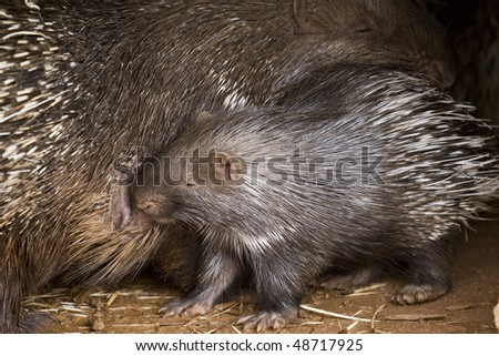 Porcupine Baby and His Mother - stock photo