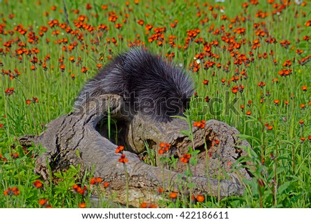 Porcupine climbing on a log in a field of wildflowers. - stock photo