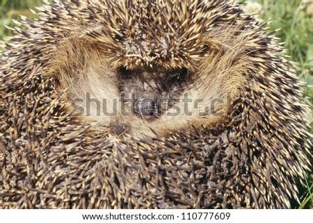 Porcupine, close-up - stock photo