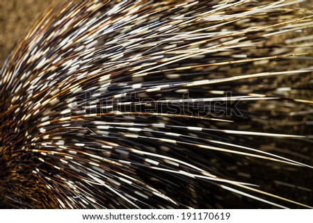 porcupine detail - stock photo