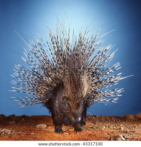 porcupine displaying its quills - stock photo