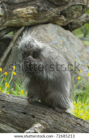 Porcupine eating on log with background of tall grass and yellow flowers