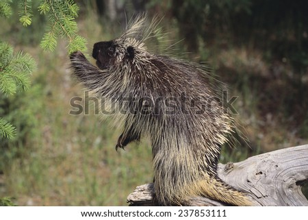 Porcupine Eating Pine Needles - stock photo