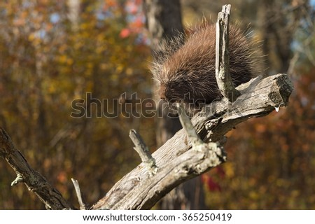 Porcupine (Erethizon dorsatum) Looks Down Branch - captive animal - stock photo