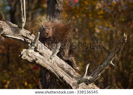Porcupine (Erethizon dorsatum) Looks Out from Branch - captive animal - stock photo