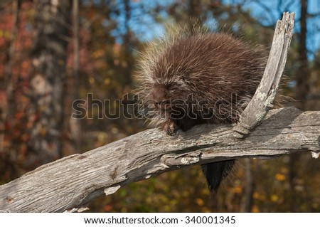Porcupine (Erethizon dorsatum) Naps on Branch - captive animal - stock photo